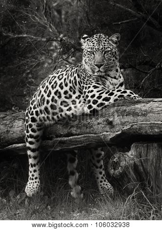 leopard, South Africa.