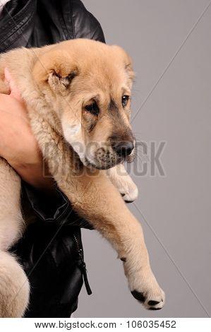 Little Dog Isolated Over Grey Background