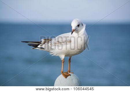 Coquettish Little Sea-gull