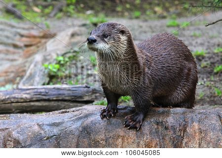 Brown Otter Looking Away From The Camera