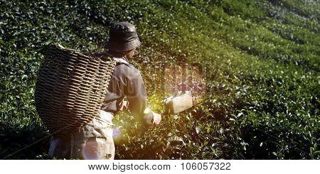 Picker Harvesting Tea Leaves Harvesting Concept