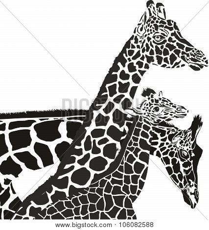 Giraffe heads