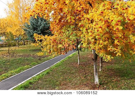 Sorbus Tree In Autumn Season In Park