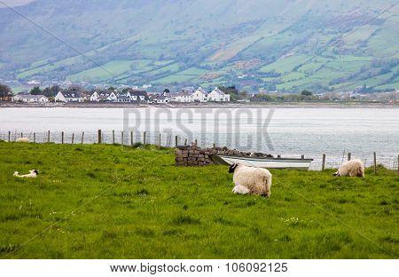 Sheep Along The Irish Countryside
