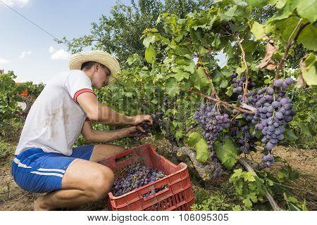 Thessaloniki Greece- September 14 2015: Farm worker picking grape during harvest in Thessaloniki Greece.