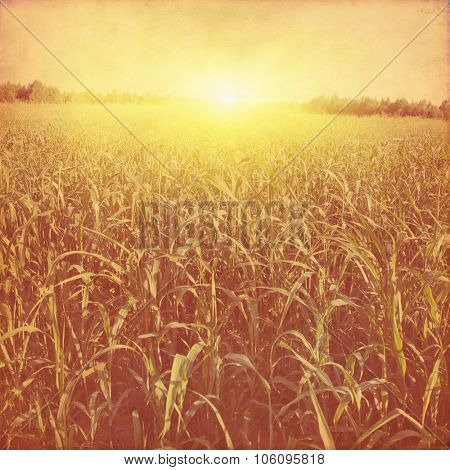 Green corn field at sunset in grunge and retro style.