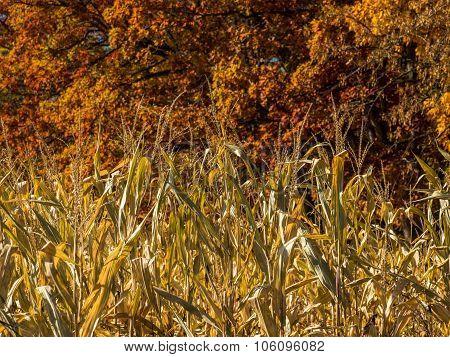 Cornstalks Closeup in Autumn