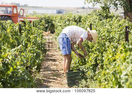 Farm Worker Picking Grape During Harvest In Thessaloniki, Greece.