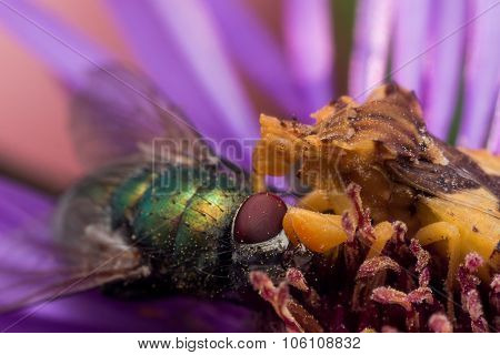 Yellow Ambush Bug Eats Shiny Green Fly On Purple Aster