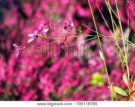 Pink flowers - Gaura lindheimeri