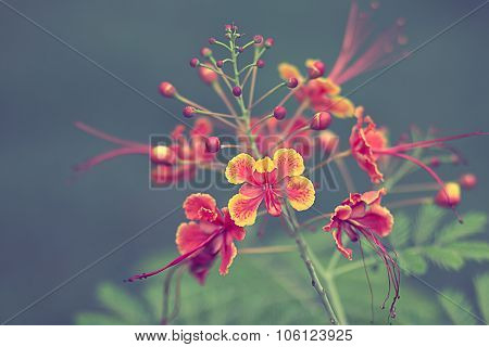The Beautiful Flower On Selective Focus And Background Blurry ,delonix Regia