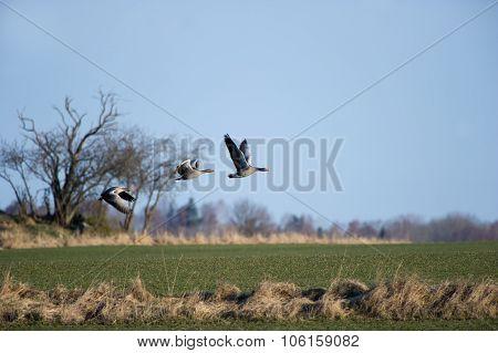 Greylag Goose (anser_anser)