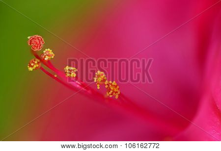 Extreme stamen and pistil macro of a Mirabilis Jalapa flower (four o'clock flower)