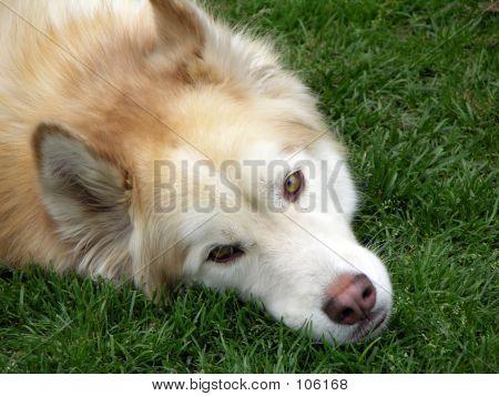 Husky 1