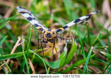 Abraxas Grossulariata Butterfly Flying Over Grass