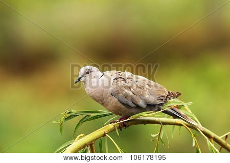 Turtledove On Willow Tree