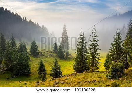 Fir Trees On Meadow Between Hillsides In Fog Before Sunrise