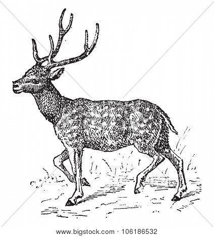 Axis deer, vintage engraved illustration. Dictionary of words and things - Larive and Fleury - 1895.