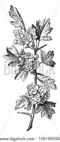 Crataegus, vintage engraved illustration. Dictionary of words and things - Larive and Fleury - 1895.