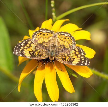 Gorgone Checkerspot butterfly feeding on a bright yellow black-eyed Susan flower in summer