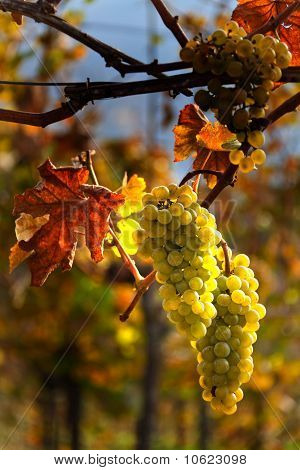 Grapes and vines in autumn