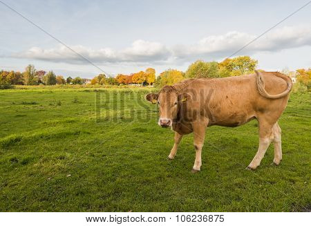 Brown Cow Wagging Its Tail