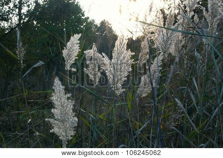 miscanthus flowers in the sunset autumn background