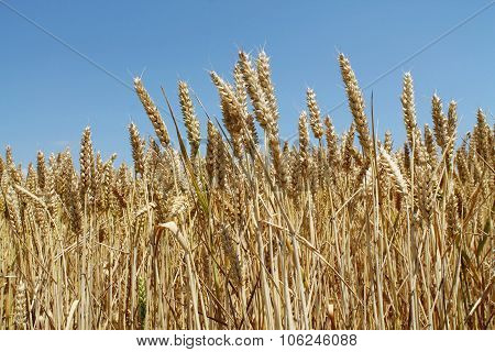 wheat spike