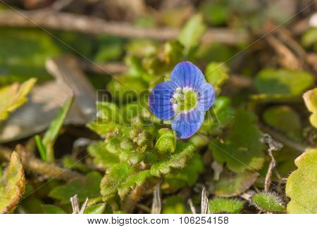 Veronica persica - one of the first tiny wild flower at early spring