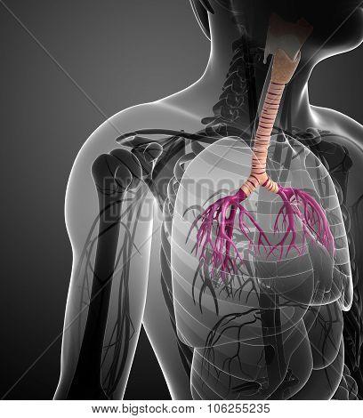 Male Throat Anatomy