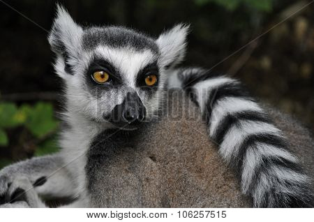 A thinking lemur