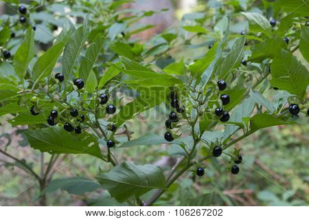 Deadly Nightshade With Toxic Berries