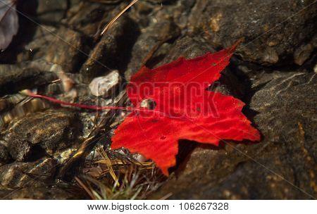 Red maple leaf under water