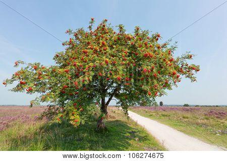 Sorbus Or Rowan Tree With Berry