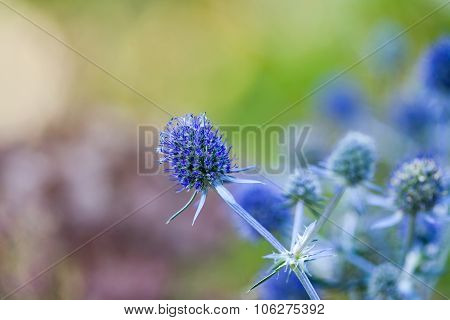 Healing herbs. Eryngium planum. Blue Sea, violet holly healthcare flowers. soft focus, macro view. copy space. blurr background poster