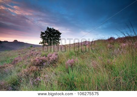 Flowering Heather On Hill At Sunrise