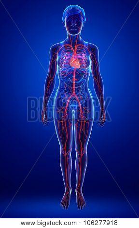 Female Arteries Artwork