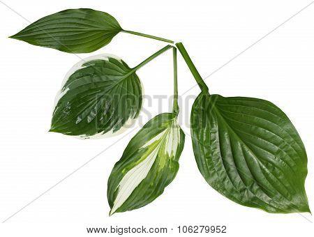 Hosta Leaf Set