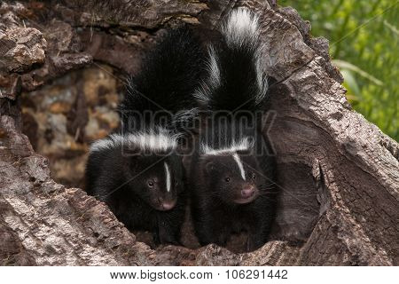 Baby Striped Skunks (mephitis Mephitis) Look Out From Log