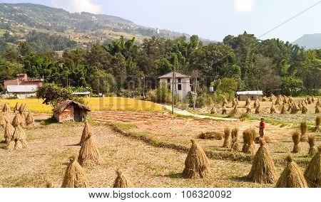Sheaves Of Grain