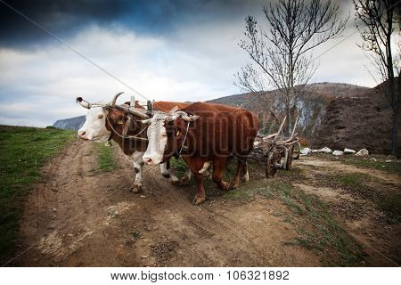 Oxen cart in Romanian mountains