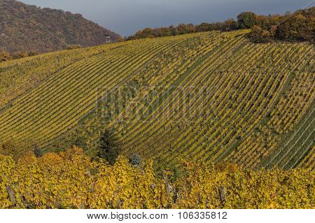 Bright Vineyard Plantations And Rolling Hills In The Autumn Months