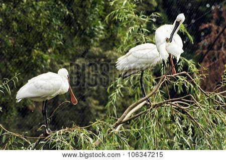 Group Of Eurasian Spoonbill (platalea Leucorodia), Animal Scene