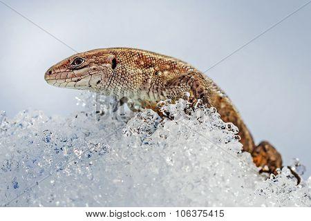 The fauna of Siberia - Sand lizard (Latin Lacerta agilis). Lizard after winter hibernation to spring