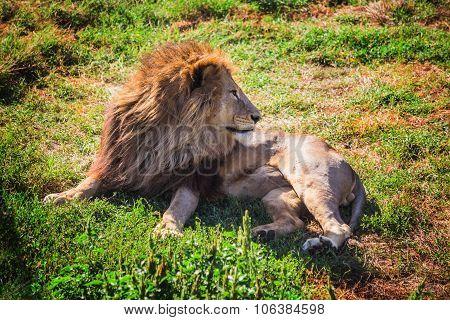 """Lion Pride in nature safari park """"Taigan"""" Belogorsk Crimea poster"""