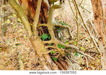Ivy On Dead Tree