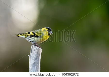 Siskin On Top