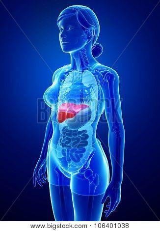 Female Liver Anatomy