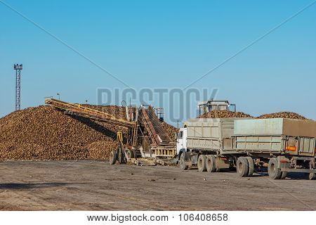 Sugar Beet Harvest - Truck Waiting In Front Of Off-loaded Beet In Sugar Factory