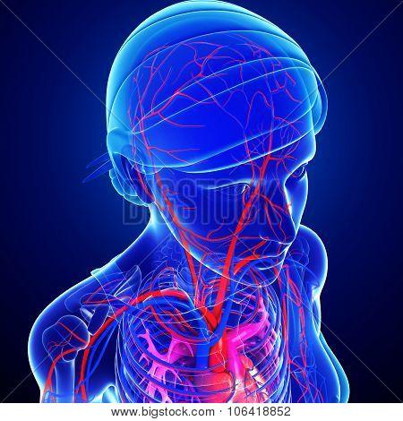 Female Head Arteries
